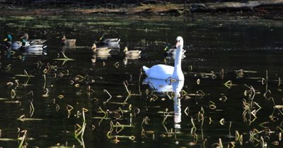 4K UltraHD Mute Swan, Cygnus olor, feeding in Marsh