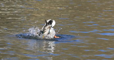 4K UltraHD Male Mallard, Anas platyrhynchos splashing