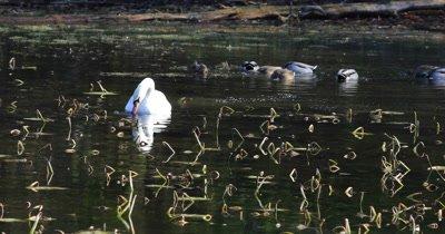 Cygnus olor, Mute Swan, feeding on Pond