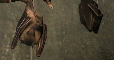 4K UltraHD Egyptian Fruit Bat, Rousettus aegyptiacus roosting