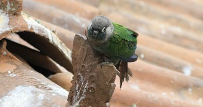 4K UltraHD Fiery Shouldered Conure, Pyrrhura egregia on rooftop