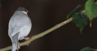 4K UltraHD Java Sparrow, Lonchura oryzivora