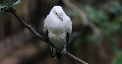 4K UltraHD Pied Imperial Pigeon, Ducula bicolor