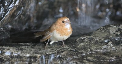 4K UltraHD Society Finch, Lonchura striata domestica in waterfall