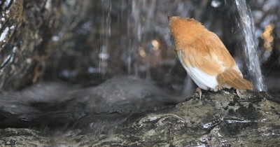4K UltraHD Society Finch, Lonchura striata domestica bathing