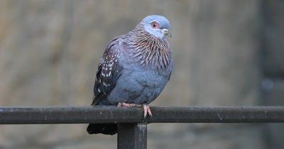 4K UltraHD Speckled Pigeon, Columba guinea