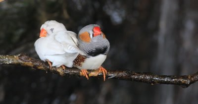 4K UltraHD Pair of Zebra Finches, Taeniopygia guttata