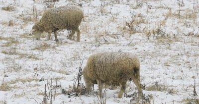 4K UltraHD Flock of sheep feeding in field in snow