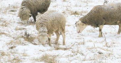 4K UltraHD Sheep grazing in field in snow
