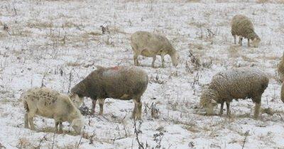 4K UltraHD Sheep in a snowy field