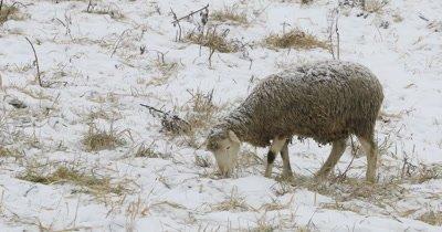 4K UltraHD Sheep in a snowy field in winter