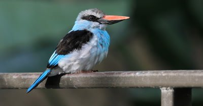 Blue Breasted Kingfisher, Halcyon malimbica from West Africa