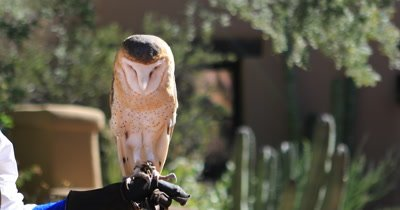 4K UltraHD Captive female Barn Owl, Tyto alba