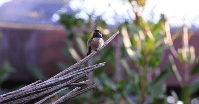 4K UltraHD Perched Black Chinned Hummingbird, Archilochus alexandri