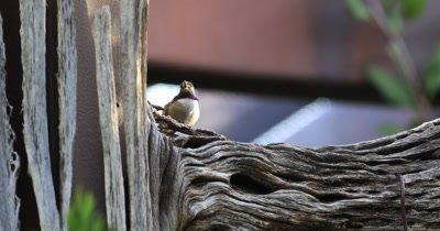 4K UltraHD Resting Black Chinned Hummingbird, Archilochus alexandri