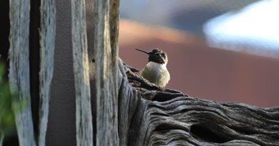 4K UltraHD Relaxing Black Chinned Hummingbird, Archilochus alexandri
