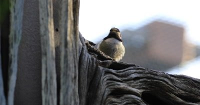 4K UltraHD Loafing Black Chinned Hummingbird, Archilochus alexandri