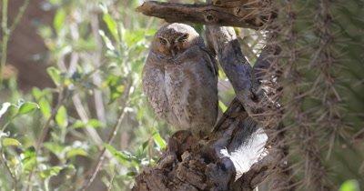4K UltraHD Elf Owl, Micrathene whitneyi roosting