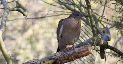 4K UltraHD White Winged Dove, Zenaida asiatica perched