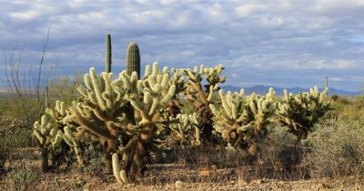 4K UltraHD View of Cholla Cactus group in Tucson Mountain Park