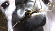 Llama Chewing Hay