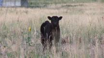 Calf In A Field Looking At Camera