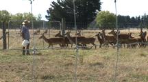Domesticated Deer Herd Approaches Rancher