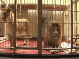 Lions Pace Within A Cage
