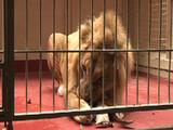 Lion Eating Inside A Cage