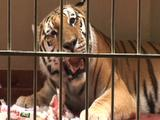 Tiger Eating In A Cage