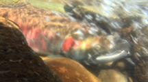 Male Coho Salmon Resting In A Creek