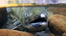 Close-Up Of A Coho Salmon