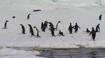 Adelie Penguin Porpoising And Arriving Ashore At Emperor Colony