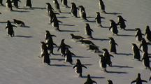 Adelie Penguins Run On Sea Ice
