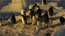 Adelie Penguins At Water's Edge At Sunset