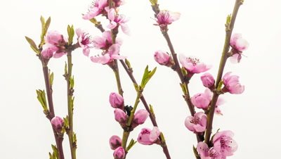 Timelapse video of an apricot flower blossoming against a white background
