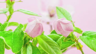 Quince flower blossoming against a pink background