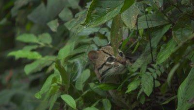Wild Ocelot in the Jungle Rain Forest Ecuador
