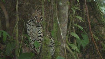 Wild Ocelot in the Jungle