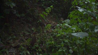Ocelot running through rain forest jungle