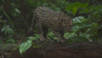 Ocelot Territorial display Rainforest Jungle