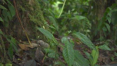 Ocelot crossing the frame through Rainforest jungle