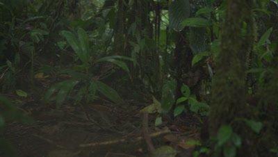 Ocelot sneaking through the Rainforest Jungle