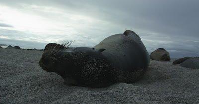Galapagos Sea Lion playing on the sand