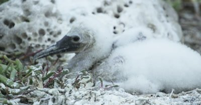 Galapagos Blue-Footed Booby chick CU tilt up to adult