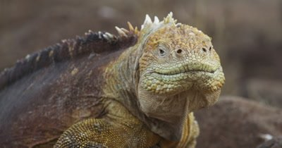 Reptiles of Galapagos: Galapagos Iguana, Lava Lizards, and Galapagos Giant Tortoise