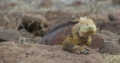 Galapagos Land Iguana sun bathing