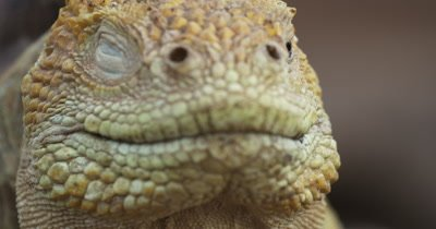 Galapagos Land Iguana face CU