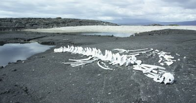 Galapagos whale skeleton dolly