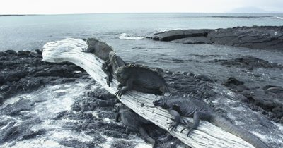 Galapagos Marine Iguanas on a Log dolly 2